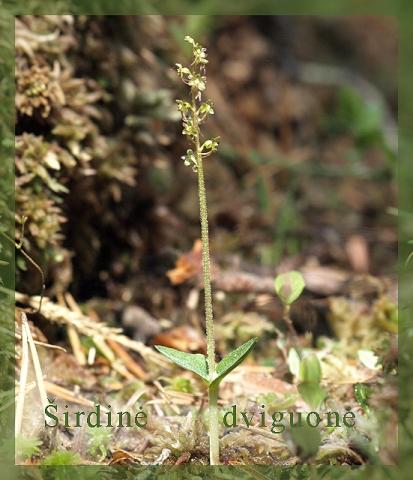 Lietuviškos orchidėjos