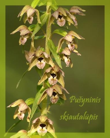 Lietuviškos orchidėjos V (pabaiga)