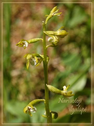 Lietuviškos orchidėjos II