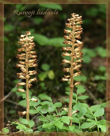 Nežali augalai (Lietuviškos orchidėjos III)