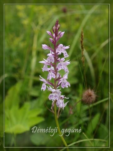 Lietuviškos orchidėjos IV