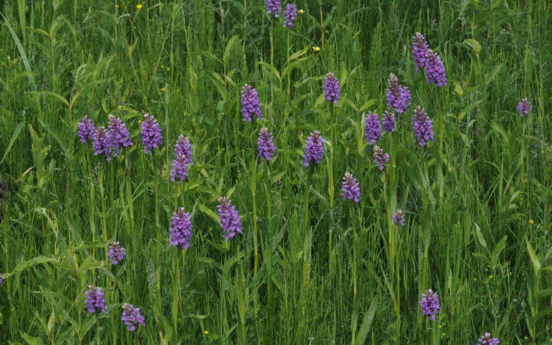 Orchidėjų pieva